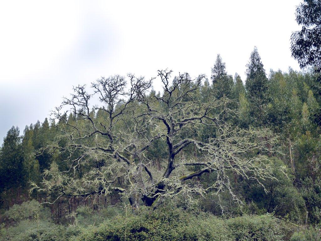 Eiche, Eukalyptus Monokultur, Ökologie vs. Profit, Klimawandel, Wiederaufforstung, Oaktree, monculture, ecology, climate change, reforestation, Permaculture Portugal